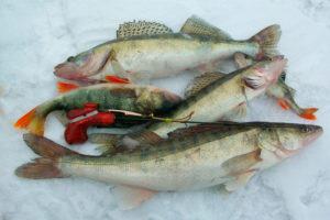 Рыбалка на судака и щуку зимой