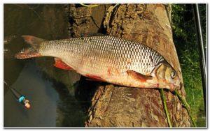 Рыбалка на язя весной