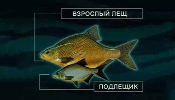 Podleshhik_i_leshh-otlichija_2