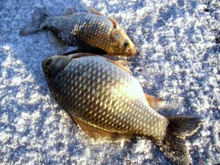 Где и как ловится карась: секреты рыбаков