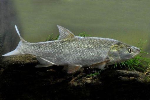 Жерех рыба где водится