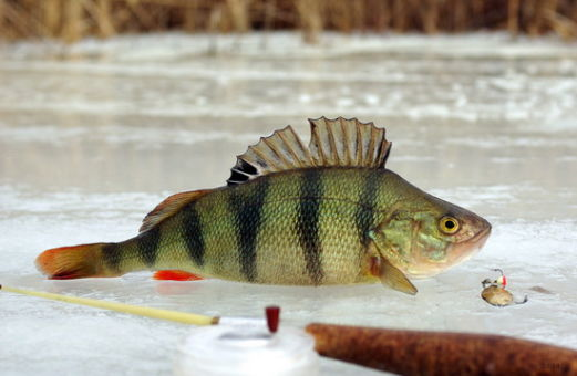 окунь зимняя рыбалка
