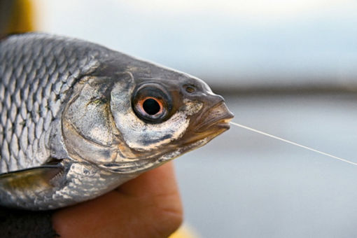 Ловля плотвы в ноябре: на что лучше ловить